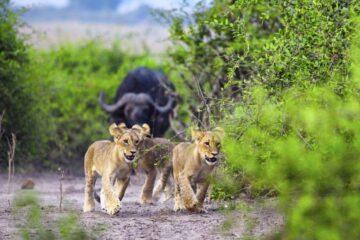 African Safaris, African Safari, African Safari Tours, African Safari Holidays, African safari travel, Kenya safari tours, Tanzania safari tours, Uganda safari tours, Rwanda safari tours, African tour safari, tour agency in kenya, travel operator in nairobi, travel agency in nairobi, mt kenya, mt kenya climbing, mountain climbing, safari, maasai mara safari, tour provider, adventure safari, safari provider, mount kilimanjaro tour safari, africa adventure safari tours, Africa tours and travels in kenya, tour and travel in kenya, travel safaris, tours and travels in kenya, east africa safari packages, kenya and tanzania safari packages, tour and travel in tanzania, tour and travel in uganda, Private Safaris East Africa, tailor made African safari, Private Safaris kenya, uganda, tanzania, rwanda, Luxury African safari tour, Masai Mara safari, Serengeti safari tours, Ngorongoro safari tours, Mt Kilimanjaro safari tours, Kenya safari tours, flight safari packages to Masai Mara, Go on safari to Kenya, Cheap luxury safaris, cheap africa safri tour, the best Luxury Safaris in Kenya, Tanzania Luxury Safari, Ngorongoro Crater package, best safari offer africa, Uganda safari tour, Lake Nakuru safari, Amboseli kenya safari, Mt Kilimanjaro africa safari, best Luxury Safaris in africa, affordable africa safari tour, cheap africa safari package, Kenya and Tanzania Safaris tours and travel, affordable East Africa Safaris tour, affordable africa honeymoon packages, cheap African flying safari tour packages, cheap east africa honeymoon packages